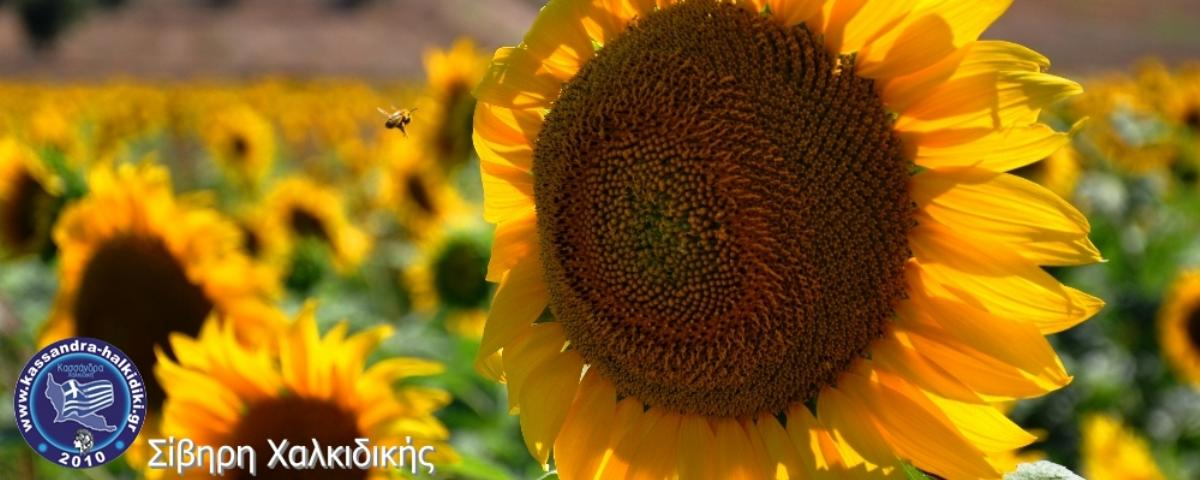 stefani-sunflowers-nikon2014-03000_1000x400-logo_1200x480